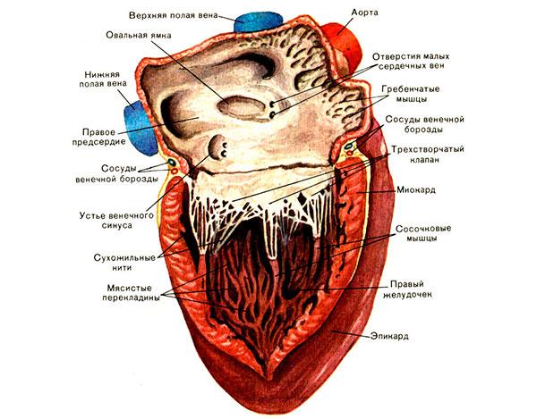 МРТ сердца