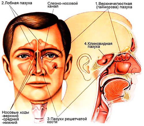 Строение придаточных пазух носа