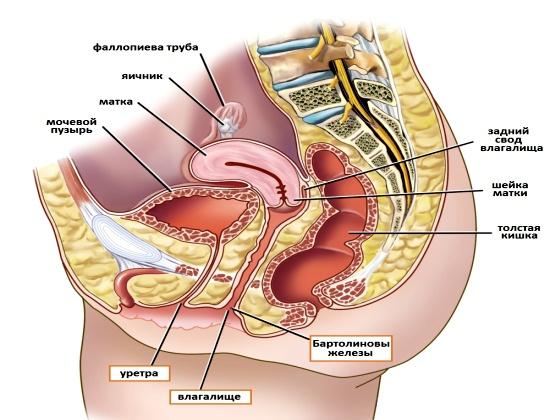 МРТ строение малого таза у женщин