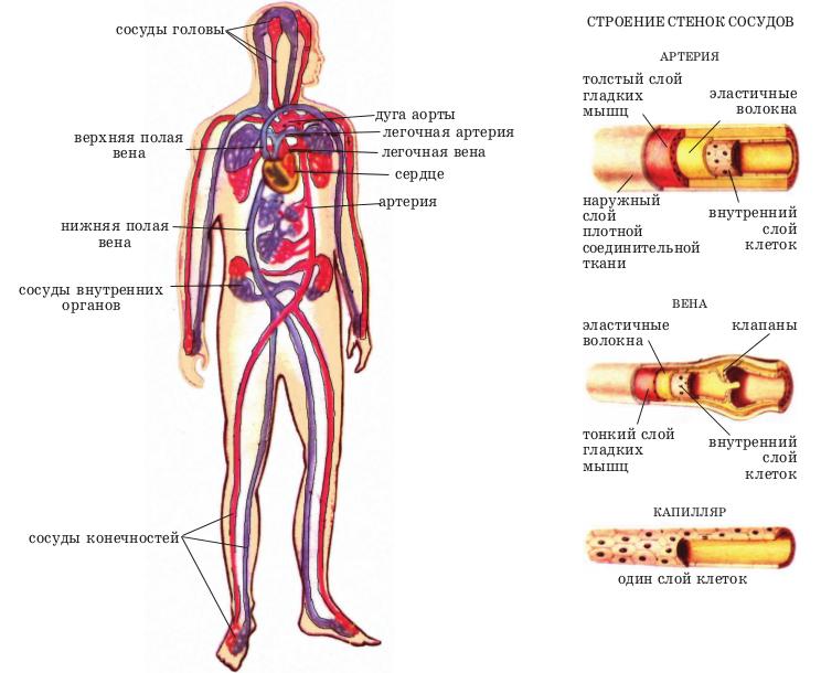 Строение сосудов (КТ ангиография)