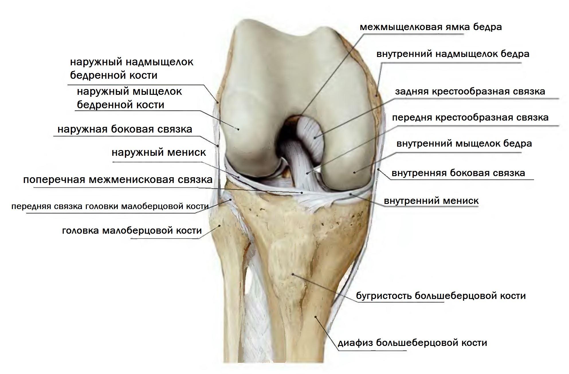 МРТ коленного сустава, строение
