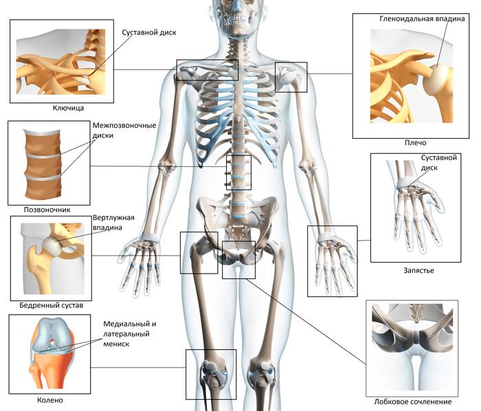 Строение суставов